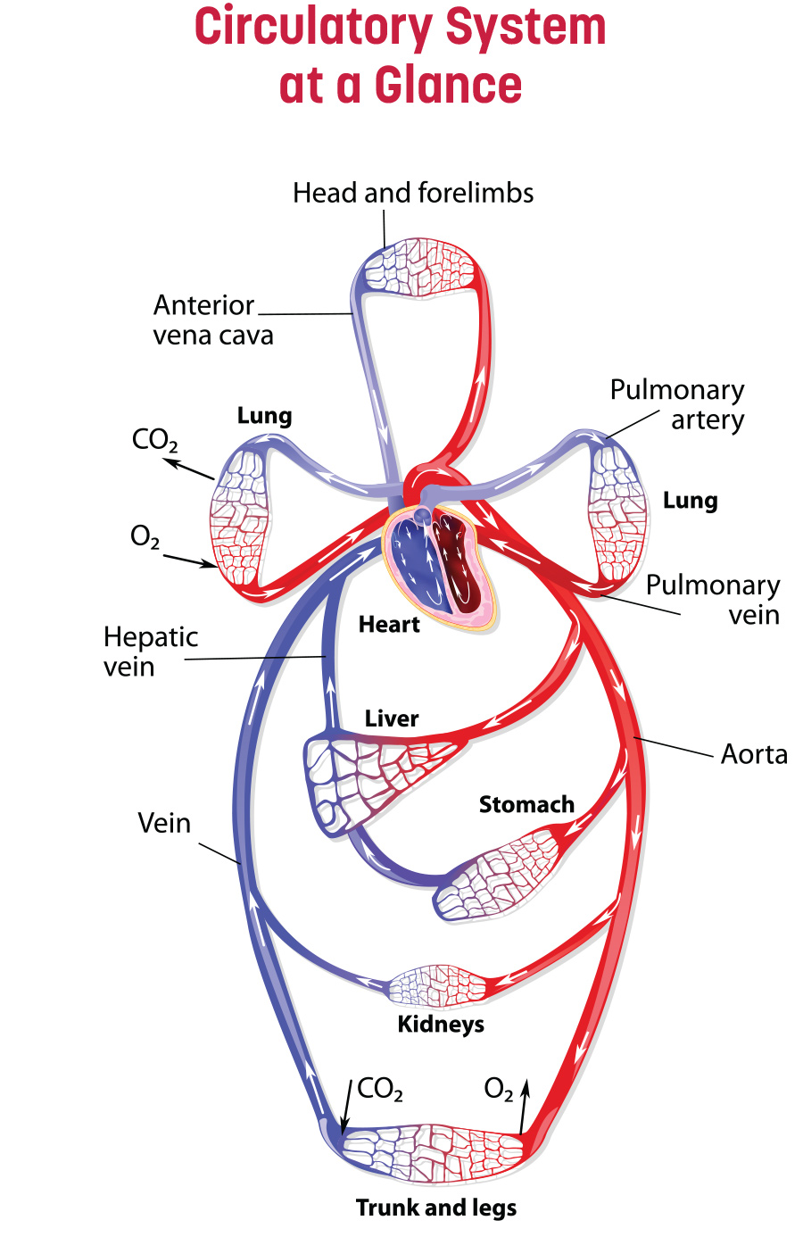 Circulatory System at a glance